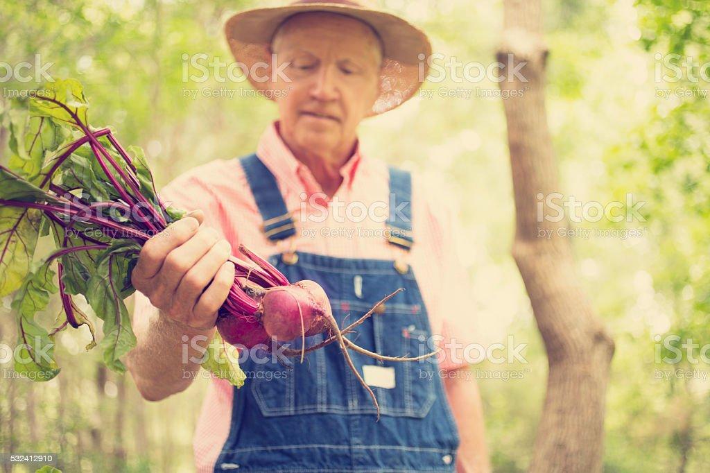 Senior adult, male farmer picks beets on farm. Organic vegetables. stock photo