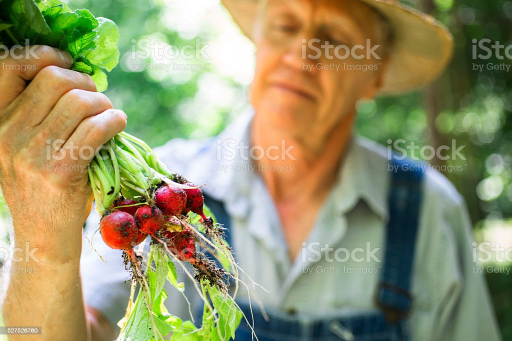 Senior adult, male farmer picks radishes on farm. Organic vegetables. stock photo
