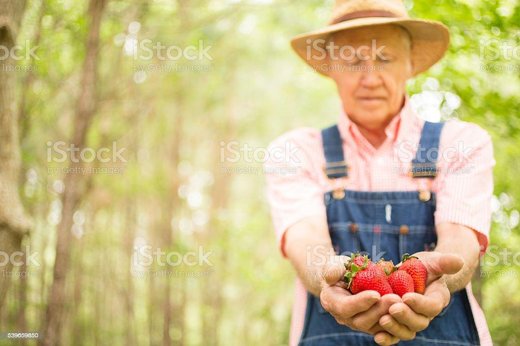 Senior adult, male farmer picks strawberries on farm. Organic fruit. stock photo