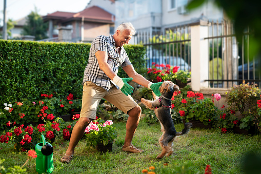 Senior adult working in garden and playing with his dog.