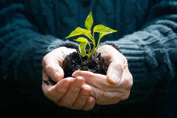 alter mensch hand sorgfältig mit einer zarten jungen pflanze - sanft und sorgfältig stock-fotos und bilder