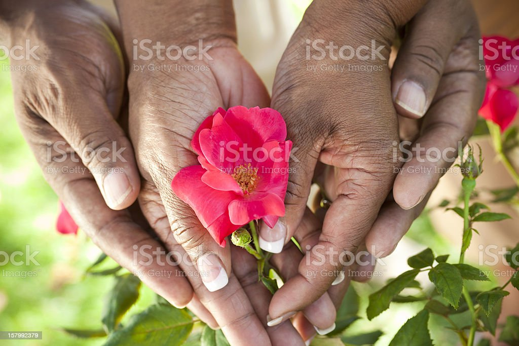 Senior African American Couple Hands Holding Rose Flower stock photo