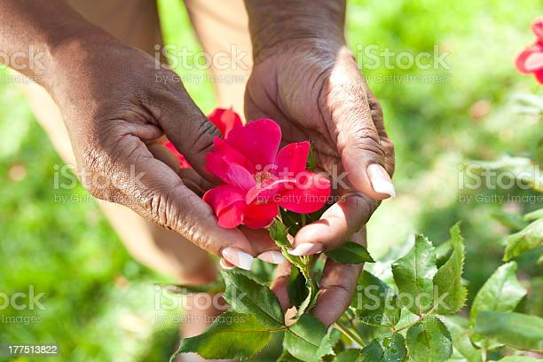 Senior african american woman hands holding rose flower picture id177513822?b=1&k=6&m=177513822&s=612x612&h=4b3qst7l6ebypbh2s wmlykmr9pdnhjowfchonitm8o=