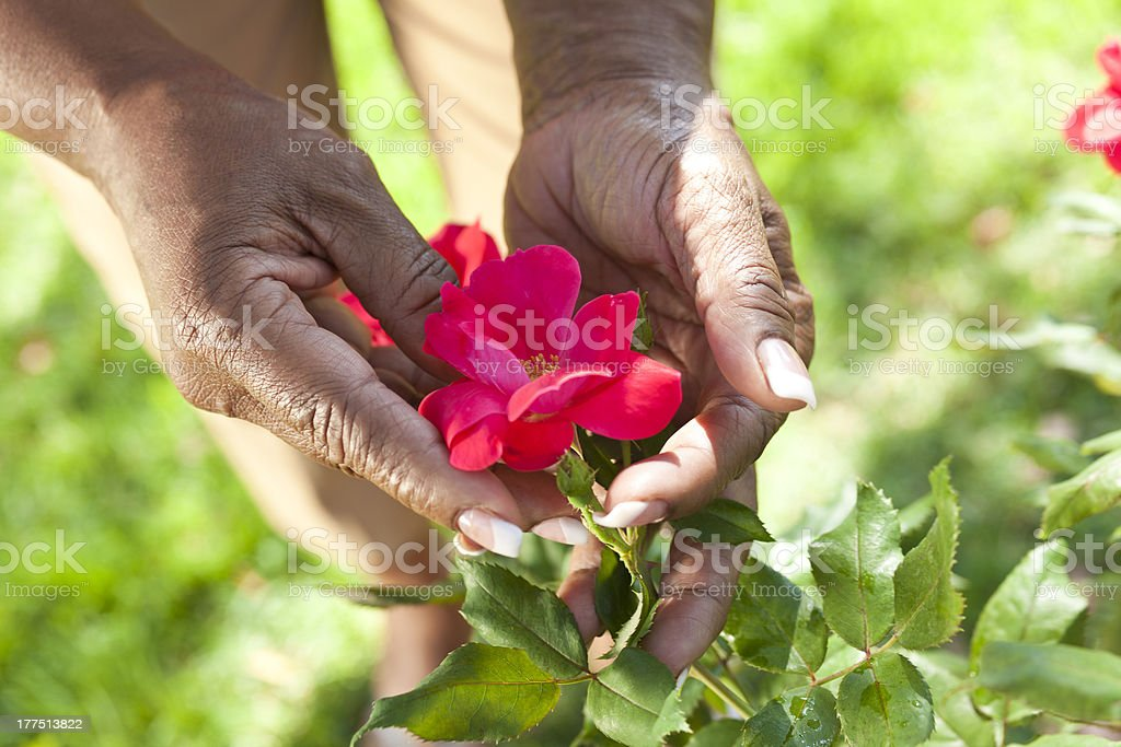 Senior African American Woman Hands Holding Rose Flower stock photo