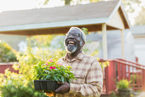 A senior African-American man in his 70s gardening in his yard. He is carry a tray of flowering plants ready to be planted in the garden.