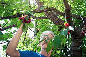 Senior man picking cherries climbed in the cherry tree closeup. Manual agriculture work abstract