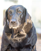 A old black Labrador Retriever sitting and looking at the camera