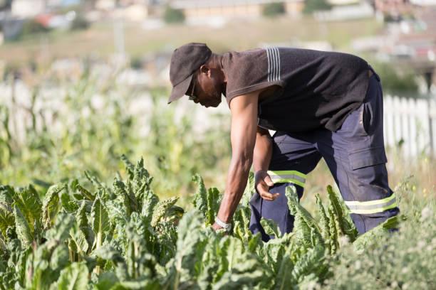 Senior black man check his spinach leaves stock photo