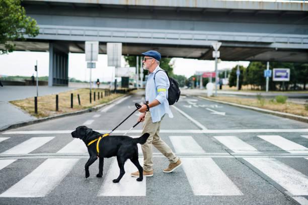 街の屋外を歩く盲導犬を持つ先輩盲人は、通りを横断します。 - disabilitycollection ストックフォトと画像