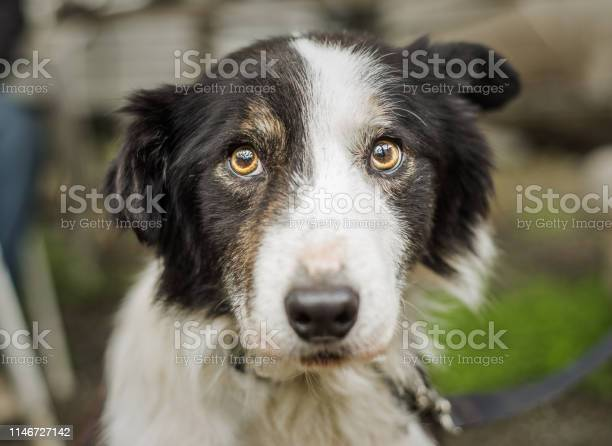 Senior border collie dog with a rescue at his foster home looking at picture id1146727142?b=1&k=6&m=1146727142&s=612x612&h=9yxw oaco41cnh nnndax5wrj zkwhbmwgx5einjbys=