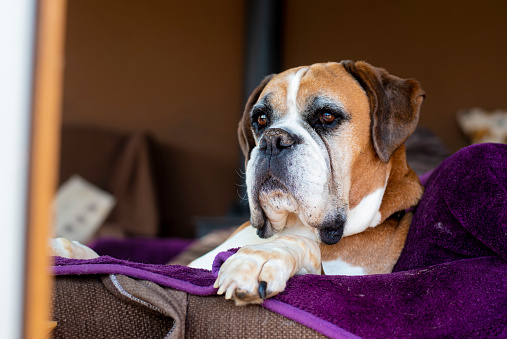 Red fluffy cute strong boxer dog sleeping with eyes closed calm.