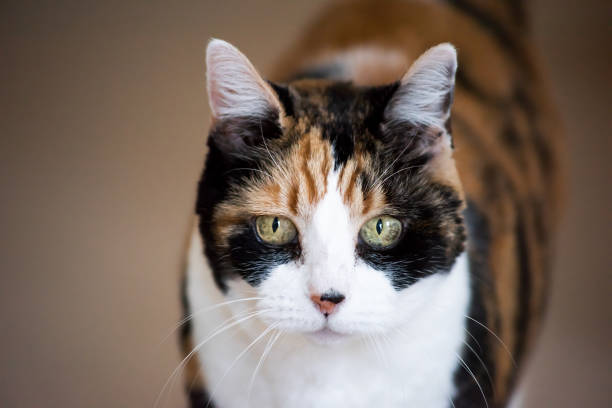 Senior calico cat closeup cute face portrait looking straight with funny expression, big green eyes, bokeh Senior calico cat closeup cute face portrait looking straight with funny expression, big green eyes, bokeh tortoiseshell cat stock pictures, royalty-free photos & images
