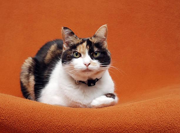 Senior Calico Cat  tortoiseshell cat stock pictures, royalty-free photos & images
