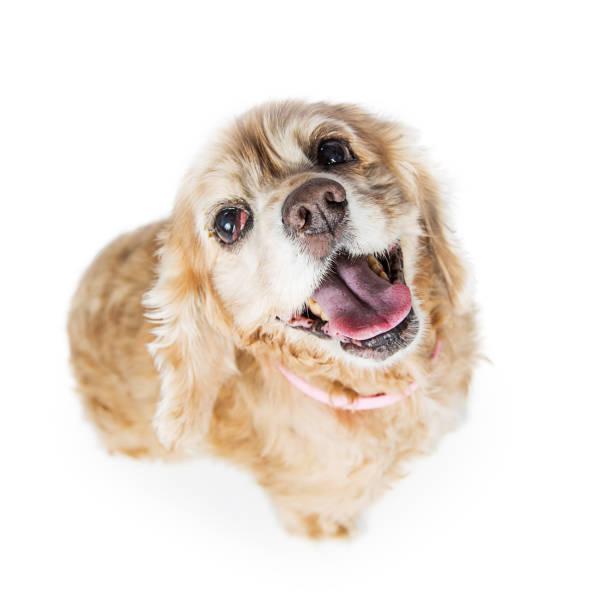 ältere cocker spaniel hund nachschlagen - amerikanischer cocker spaniel stock-fotos und bilder