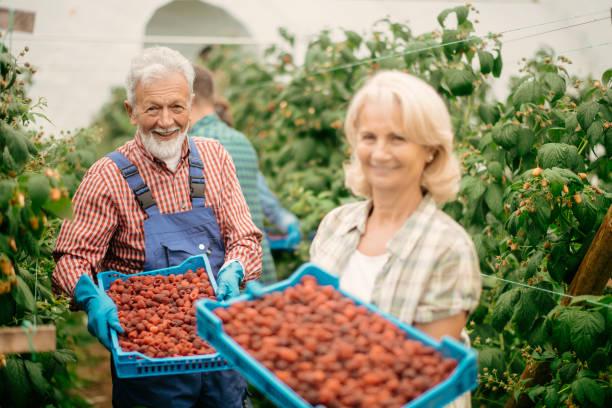 Senior-Paar Ernte auf Himbeerfarm – Foto