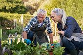 istock Senior couple picking vegetables 1153409172
