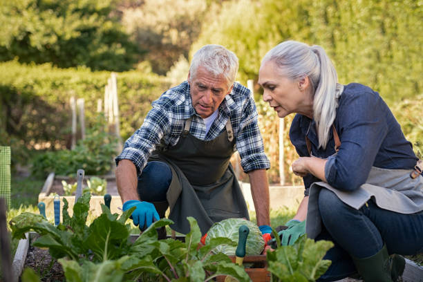 Senior couple picking vegetables Senior man and mature woman wearing apron and picking vegetables at farm garden. Senior farmers looking at plants while picking vegetables. Worried retired couple examine plants at backyard garden during the harvest. gardening stock pictures, royalty-free photos & images