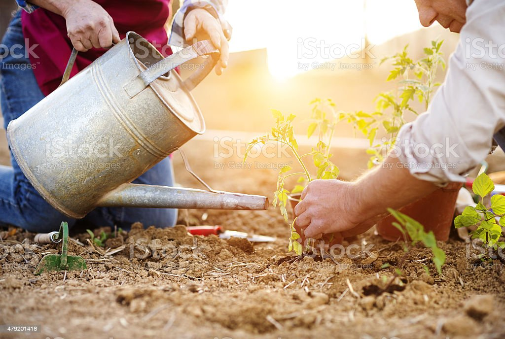 Senior couple planting seedlings stock photo