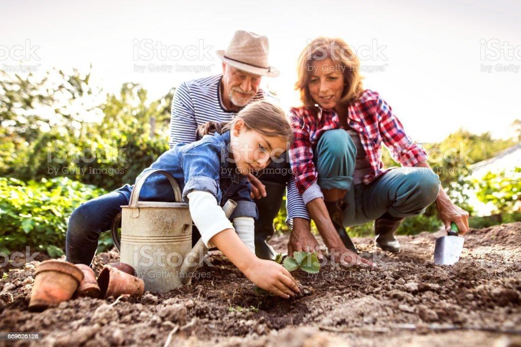 Senior couple with grandaughter gardening in the backyard garden. stock photo