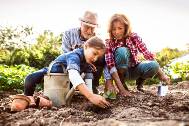 Senior couple with grandaughter gardening in the backyard garden. Happy healthy senior couple with their grandaughter planting a seedling on allotment. Man, woman and a small girl gardening. granddaughter stock pictures, royalty-free photos & images