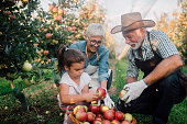 Older happy couple working with their granddaughter at the plantation of fruit