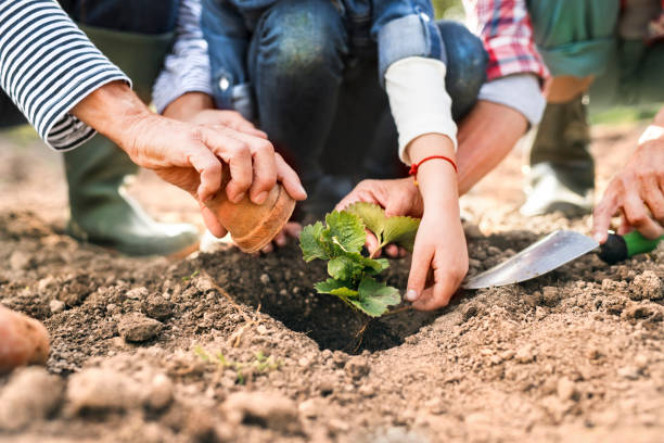 Senior couple with granddaughter gardening in the garden. Hands of unrecognizable senior couple with their grandaughter planting a seedling on the allotment. Man, woman and a small girl gardening. community garden stock pictures, royalty-free photos & images