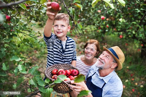 A top view of senior couple with small grandson picking apples in orchard.