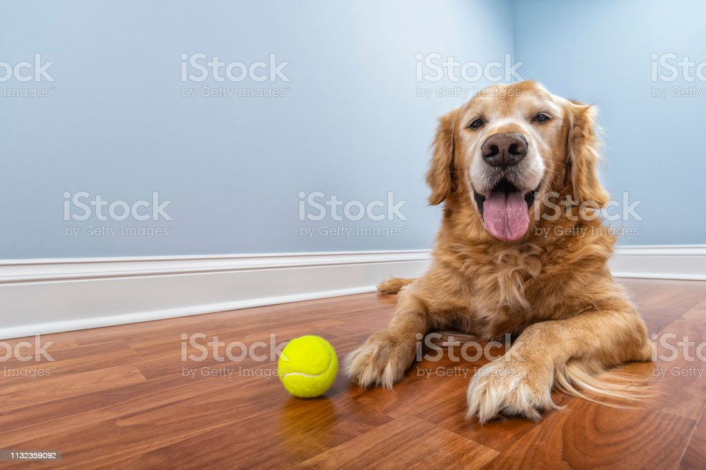 A low angle view of a senior Golden Retriever looking at the camera...