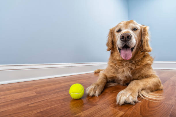 A senior dog lying down on the floor of his home with his ball stock photo