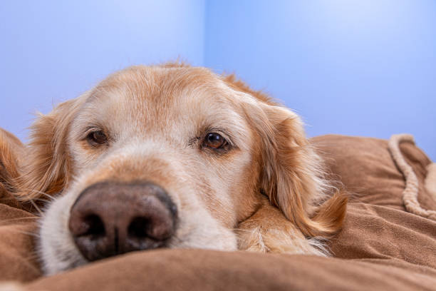 A senior dog lying on a dog bed in his home looking at the camera