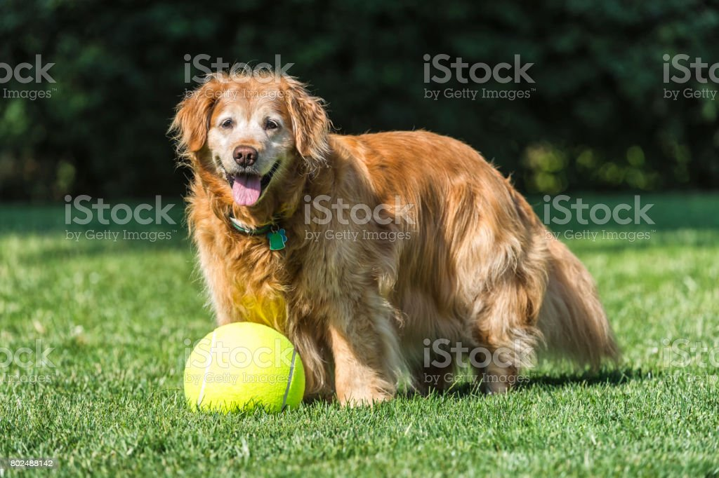 Senior dog playing with large tennis ball in yard stock photo