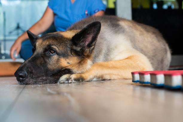 Senior dog resting after his morning walk stock photo