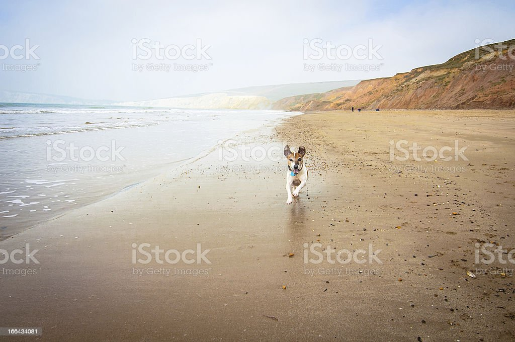 A happy 13 years old Jack russell terrier running on the beach in...