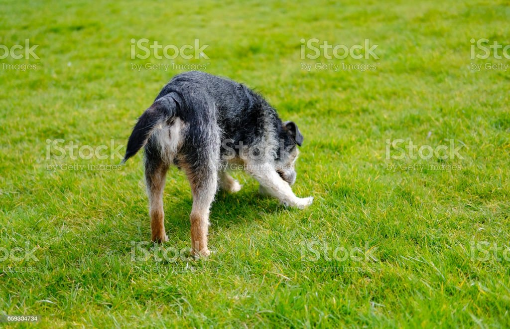 Senior dog seen in the owners back garden during early spring. stock photo