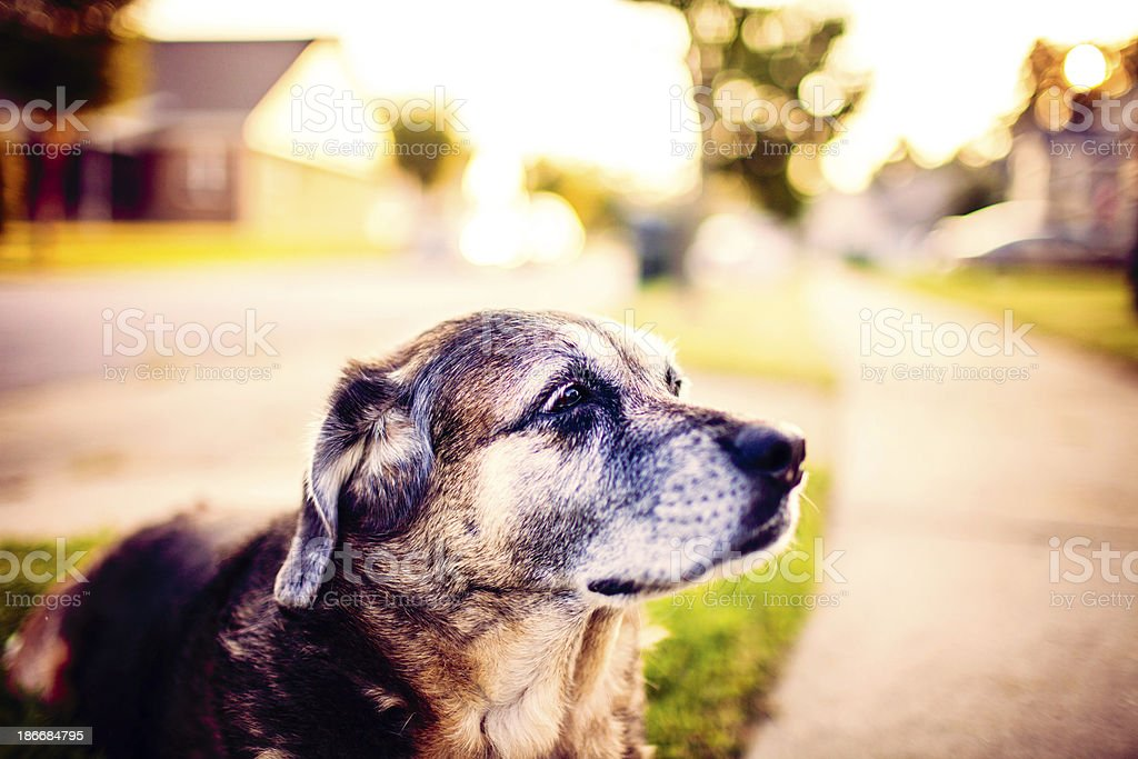 Senior Doggy at Dusk royalty-free stock photo