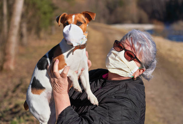 Senior elderly woman with virus face mask holding her Jack Russell terrier dog an hands, she wear simple cloth respirator as well. Pets are probably not vulnerable to coronavirus covid-19 stock photo