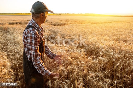 Senior farmer examining wheat field. Wears hat, shirt and union suit. On background sunbeam and gold colored field.
