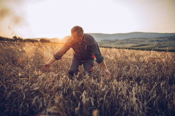 senior farm worker examining wheat crops field - organic farm stock photos and pictures