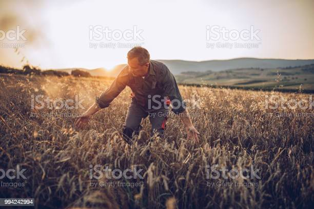 Senior Farm Worker Examining Wheat Crops Field Stock Photo - Download Image Now