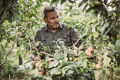 Senior farm worker picking apples  in the orchard