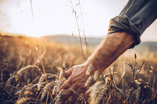 Senior farm worker Senior farm worker examining wheat crops field oat crop stock pictures, royalty-free photos & images