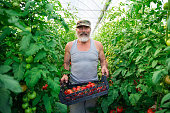 Senior farmer at work in greenhouse