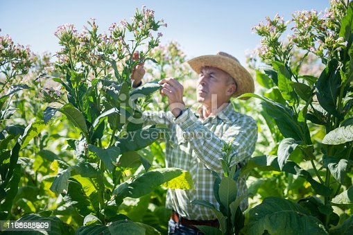 Senior farmer in his tobacco fields, checking his harvest.
