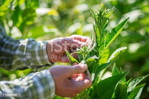 Unrecognizable farmer hands examining tobacco crop, close up
