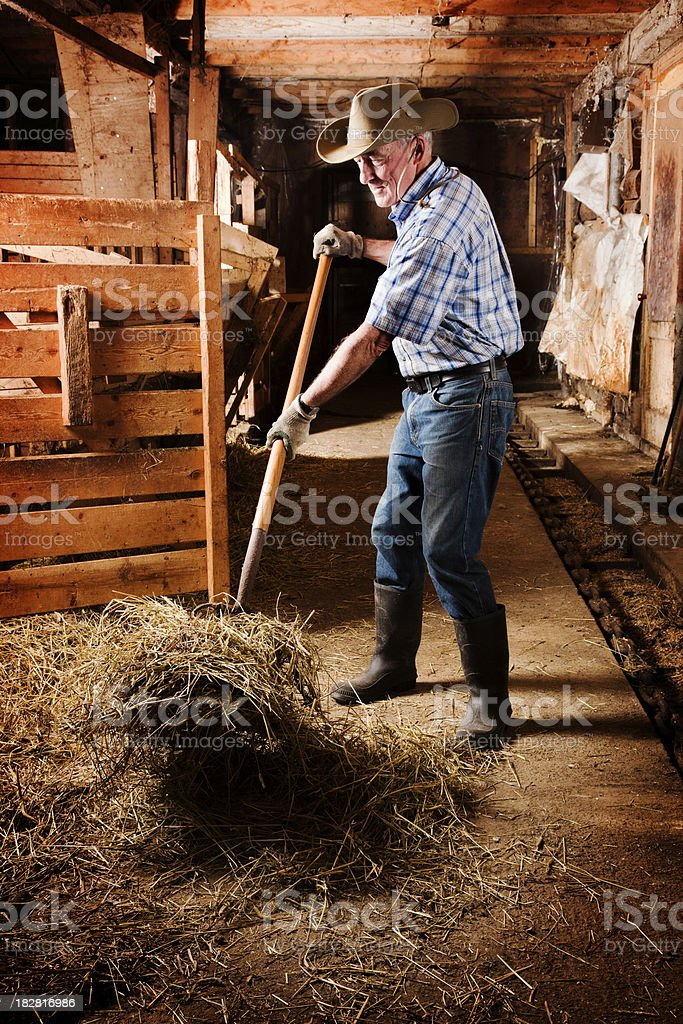 Senior farmer forking a haystack in his barn stock photo