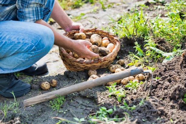 Agricultor senior cosechando y poniendo papa en la cesta - foto de stock