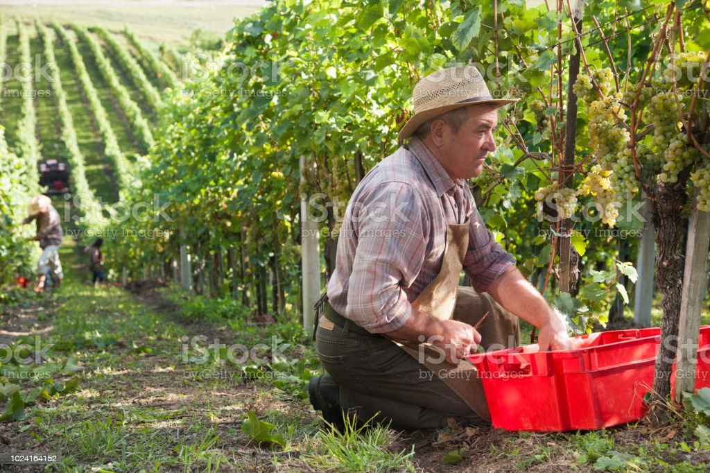 Senior farmer harvesting grapes in vineyard. stock photo