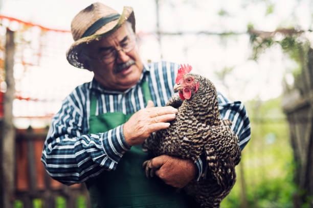 senior farmer holding chickens on farm - pensionati lavoratori foto e immagini stock