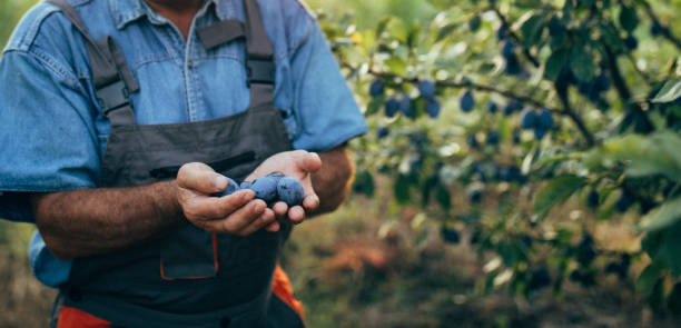 Senior farmer holding plums stock photo