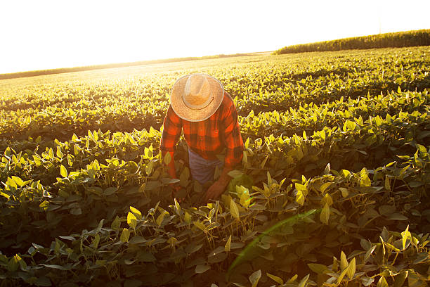 Senior farmer in a field examining crop Senior farmer in a field examining crop farm worker stock pictures, royalty-free photos & images